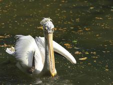 Free Pelican Stock Image - 6762371