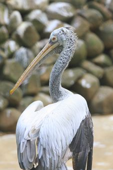 Free Pelican Royalty Free Stock Photo - 6762485