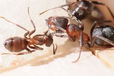 Free Red-haired Wood Ant Stock Photos - 6763483