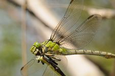 Free Portrait  Great Dragonfly Royalty Free Stock Photo - 6763485
