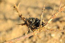 Free Scarab Beetle Stock Photos - 6764523