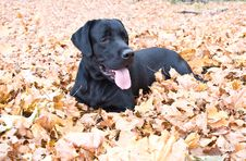 Free Black Labrador Dog Lies In Yellow Autumn Leaves Royalty Free Stock Photography - 6764947