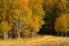 Fall Birch Trees Stock Photo
