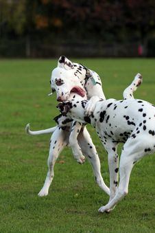 Dogs Playing Stock Images