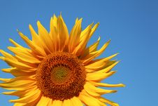Free Sunflower On Blue Background Stock Photo - 6765790
