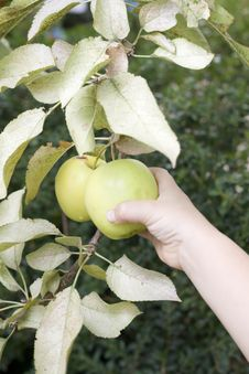 Free Child Taking An Apple Directly From The Tree Stock Images - 6765964