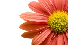 Orange Pink Daisy Isolated On White,clipping Path Royalty Free Stock Images