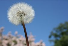 Free Dandelion Royalty Free Stock Photography - 6767317