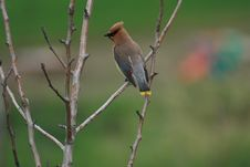 Free Cedar Waxwing Royalty Free Stock Images - 6767409