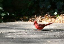 Free Cardinal Stock Photo - 6767950