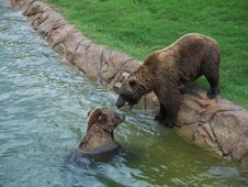 Free Bears Playing In The Water Royalty Free Stock Image - 6768186