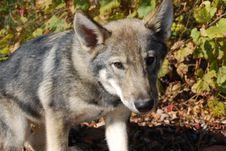 Free Wolf Pup Sitting Stock Image - 6768271