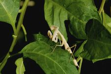 Free Praying Mantis Stock Image - 6768311