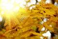 Free Yellow Autumn Leaves Stock Image - 6771191