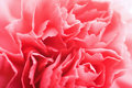 Free Macro Of Carnation Flower Royalty Free Stock Photos - 6772328