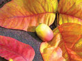 Free Fall Leaves And Acorn Stock Photo - 6775850