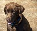 Free Chocolate Labrador Sitting Stock Photography - 6778682