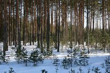 Free Winter Forest Royalty Free Stock Image - 6771546