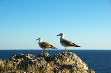 Free Seagull Royalty Free Stock Photography - 6772267