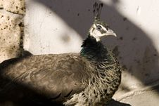 Free Peahen Stock Photos - 6772433