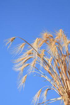 Free Wheat Stems. Stock Image - 6772531