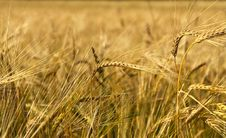 Free Wheat Field Stock Images - 6772774