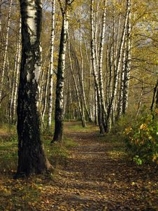 Free Footpath In Birch Grove, Autumn Royalty Free Stock Photography - 6772987
