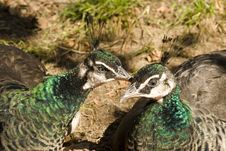 Free Peacock In Love Stock Photo - 6773020
