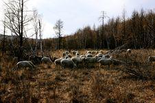 Free Sheep Stock Image - 6773941