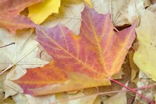 Free Autumn Maple  Leaves Stock Image - 6775321