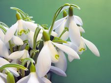 Free Snowdrops Royalty Free Stock Image - 6775566