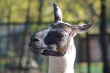 Free Lama Head Stock Photo - 6775860