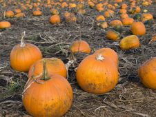 Free Pumpkins In The Field Royalty Free Stock Photography - 6777767
