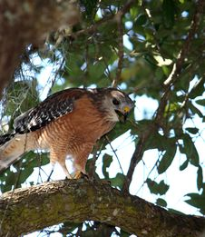 Free Hawk In A Tree Stock Images - 6778384