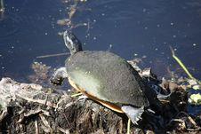Free Turtle Sun Bathing Royalty Free Stock Photography - 6778917