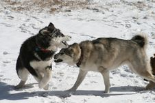 Dogs Playing In Snow Royalty Free Stock Image