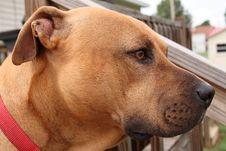 Free Big Brown Dog Stock Photos - 6779213