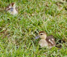 Free Mallard Duckling Royalty Free Stock Photos - 6779838