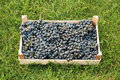 Free Blue Grapes Over Green Grass Royalty Free Stock Photography - 6783617