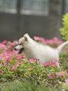 Free Siberian Husky Puppy Dog Stock Photos - 6788453