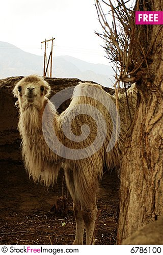 Free Smiling Camel Stock Photo - 6786100