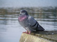 Grey Pigeon With Purple Chest Royalty Free Stock Photo