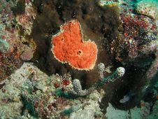 Free Red Boring Sponge Stock Photography - 6780262