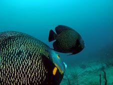 Free Gray Angelfish Stock Image - 6780281