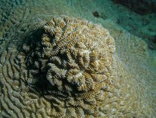 Free Brain Coral Royalty Free Stock Photo - 6780345