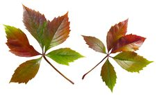 Free Ivy. Autumn Leaves Royalty Free Stock Image - 6781386