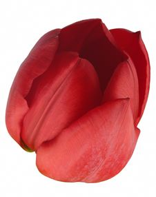 Free Red Tulip Stock Images - 6781464