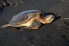 Free Hawkbill Sea Turtle Royalty Free Stock Photo - 6781485