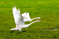 Free Swans Stock Images - 6781934