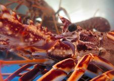 Free Captive Lobsters Closeup Royalty Free Stock Image - 6782656